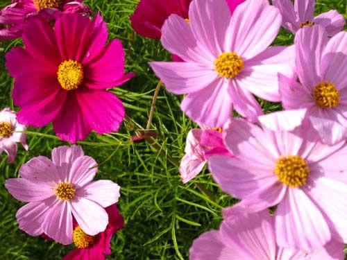 najpopularniejsze kwiaty w Japonii