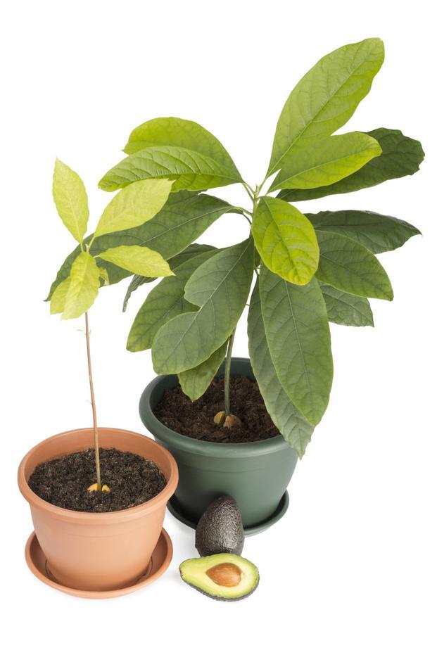 Rośliny wyhodowane z pestek owoców