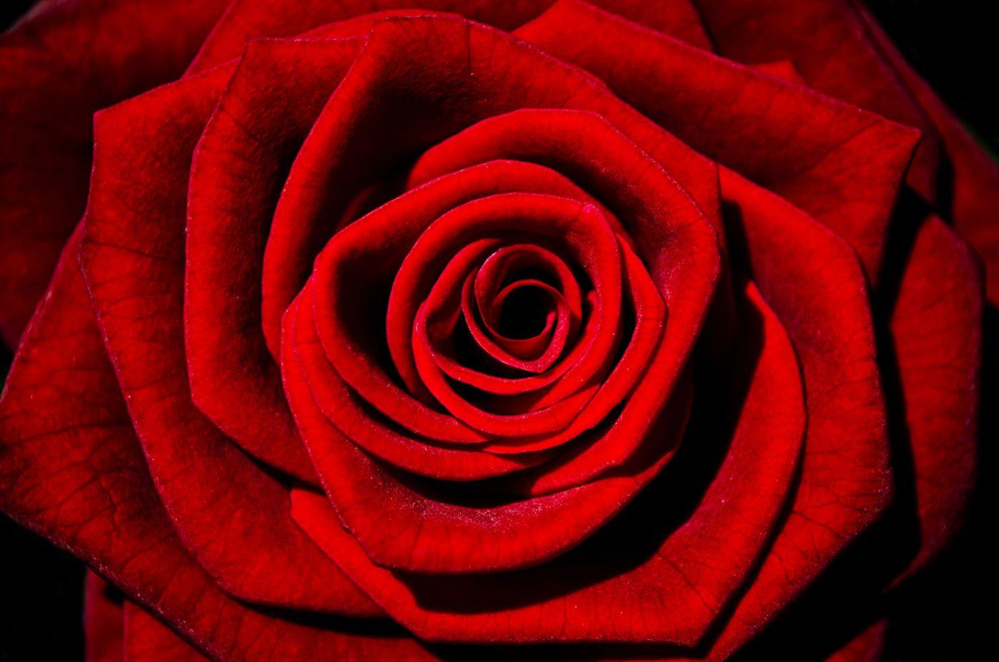 zastosowania róży